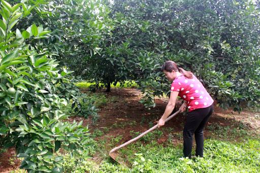 Kỹ thuật làm cỏ cho vườn cam sau thu hoạch